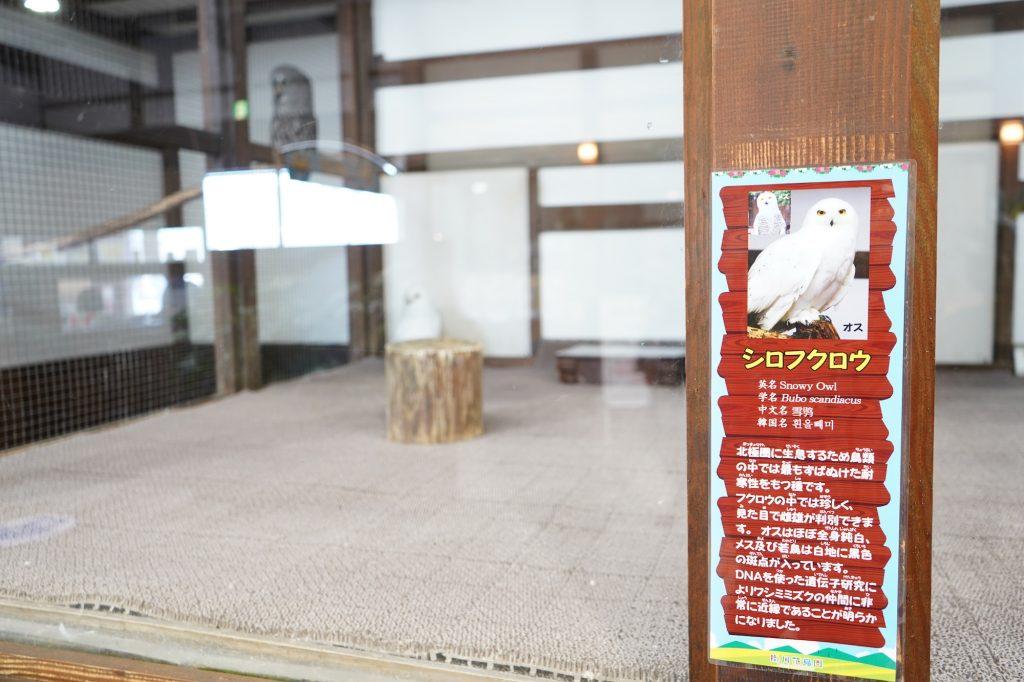 真っ白のフクロウ