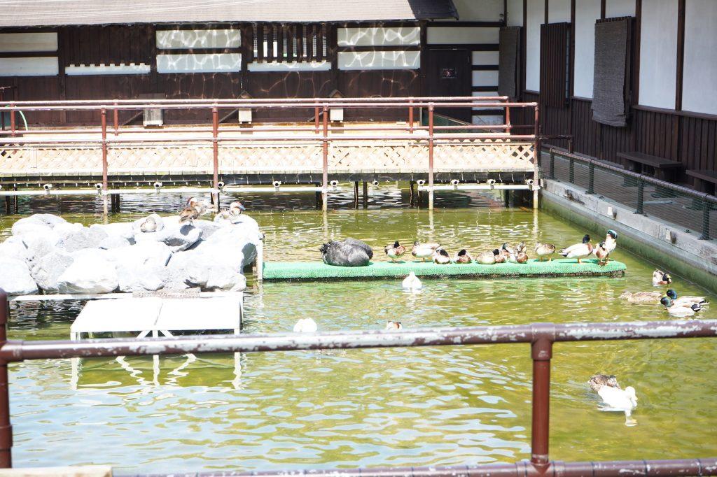 カモがいる池