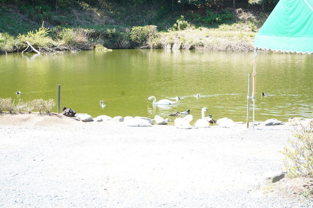 白鳥とガチョウの群れ